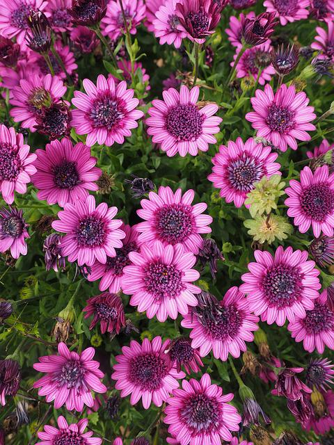Cape Basket, Blossom, Bloom, Flower, Pink, Osteospermum