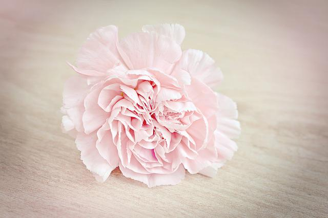 Flower, Carnation, Blossom, Bloom, Petals, Pink