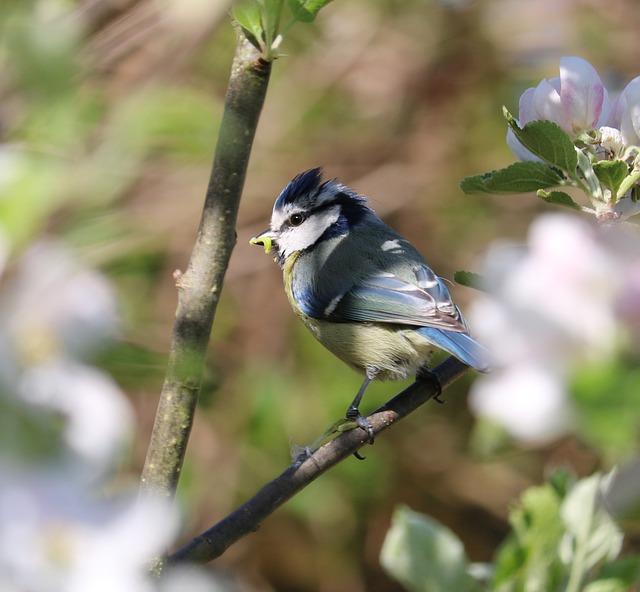Blue Tit, Bird, Blossom, Caterpillar, Tree