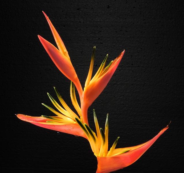 Bird Of Paradise Flower, Caudata, Blossom, Bloom