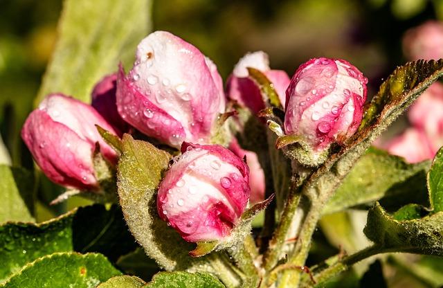 Apple Tree Blossom, Blossom, Bloom, Closed, Dewdrop