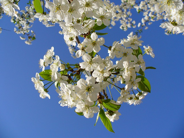 Cherry Tree, Blossom, Blossoms, Sky, Clouds, Blooming