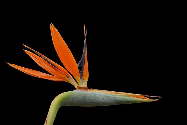 Strelizie, Blossom, Bloom, Orange, Exotic, Color