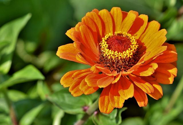 Zinnia, Blossom, Bloom, Composites, Flower