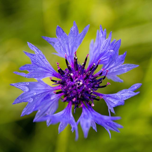 Cornflower, Mayflower, Bokeh, Blossom, Nature, Spring