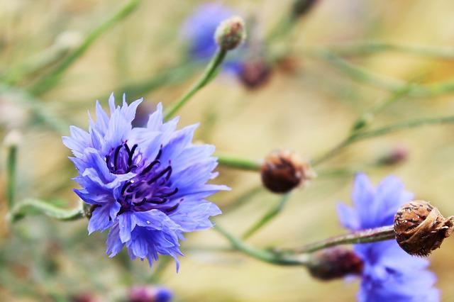 Cornflower, Flower, Blue, Blossom, Bloom, Summer