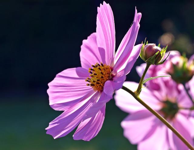 Cosmos Flower, Flower, Petals, Blossom, Cosmea, Bloom