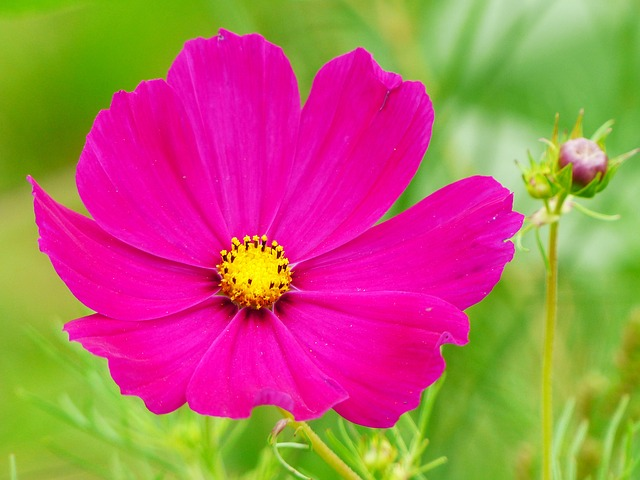 Cosmea, Cosmos, Flower, Blossom, Bloom, Bud