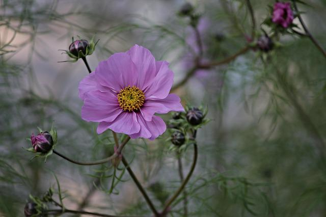 Cosmea, Flower, Cosmos Bipinnatu, Cosmos, Blossom