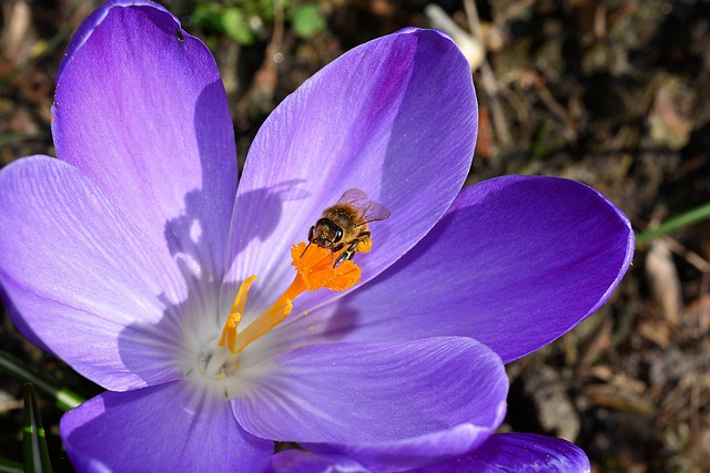 Crocus, Flower, Blossom, Bloom, Close, Bee