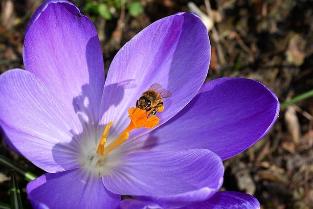 Crocus, Flower, Blossom, Bloom, Close, Bee