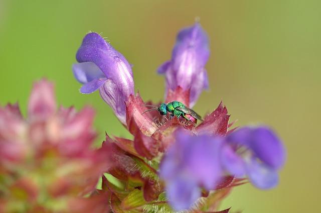 Blossom, Bloom, Insect, Macro, Cuckoo, Stinging Wasp