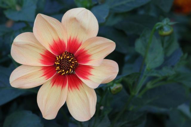 Dahlia, Blossom, Bloom, Flower, Garden Plant