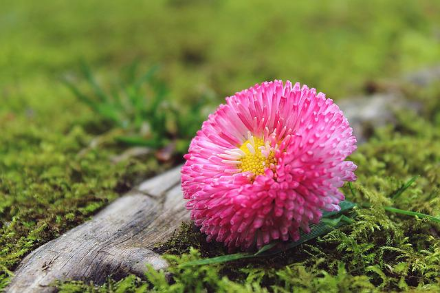 Daisies, Flower, Blossom, Bloom, Plant, Nature, Pink