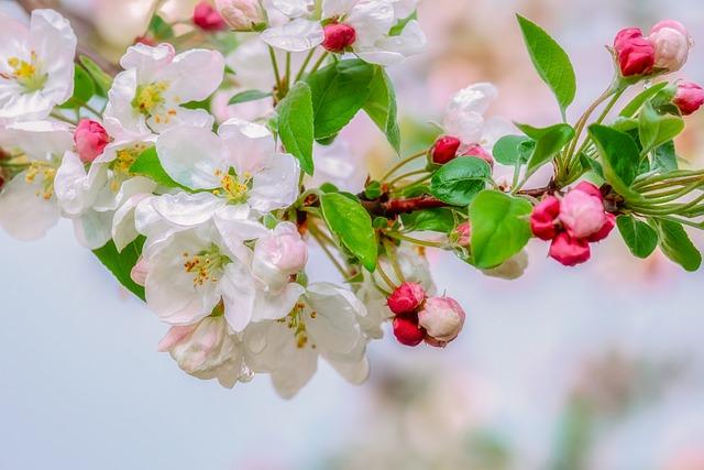 Blossom, Embellishment, Raindrop, Branch, Apple Blossom