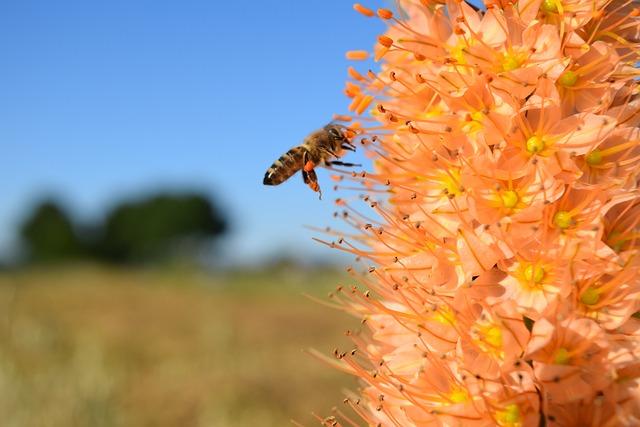 Bee, Eremurus, Steppe Candle, Desert Wandering, Blossom