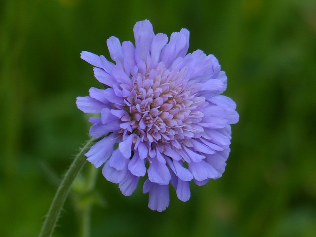 Field Scabious, Blossom, Bloom, Pointed Flower, Purple