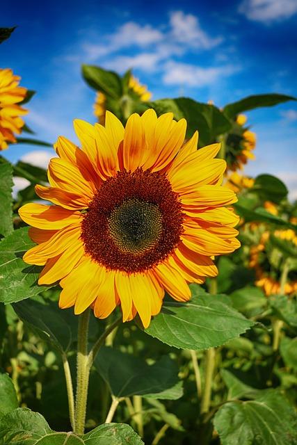 Sunflower, Flower, Blossom, Bloom, Summer, Field