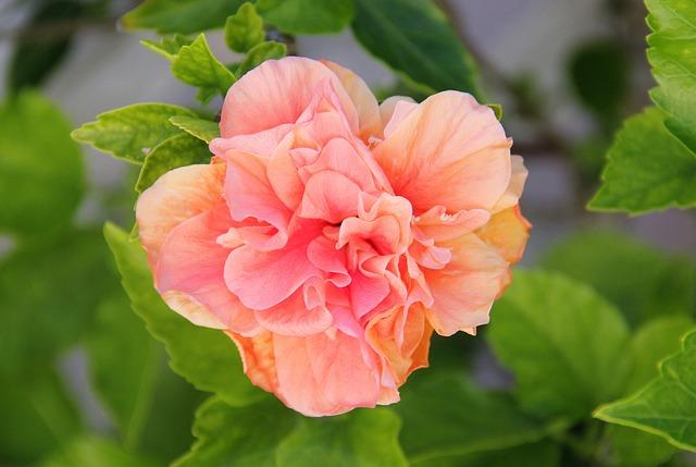 Filled Hibiskusblüte, Blossom, Bloom, Exotic Flower