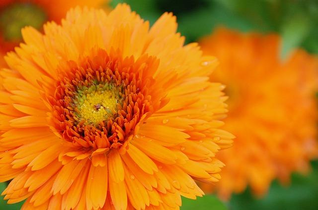 Marigold, Orange, Blossom, Flora, Colorful, Botanical