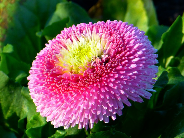 Bellis, Flower, Blossom, Bloom, Daisy