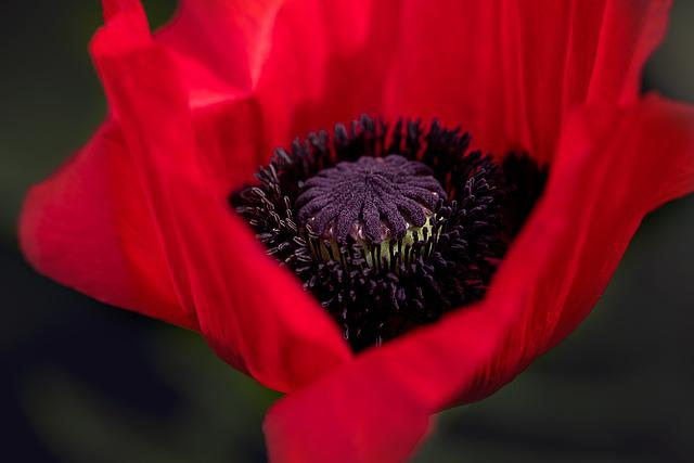 Poppy, Red Poppy, Flower, Blossom, Bloom, Red, Nature