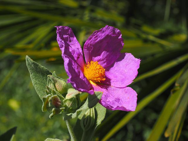 Whitish Rock Rose, Flower, Blossom, Bloom, Pink