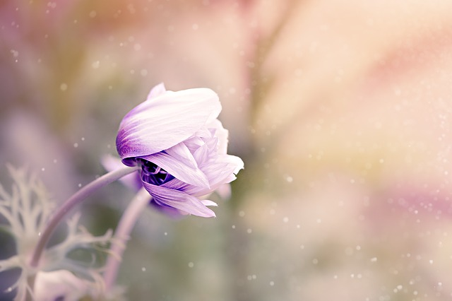 Anemone, Flower, Violet-white, Blossom, Bloom