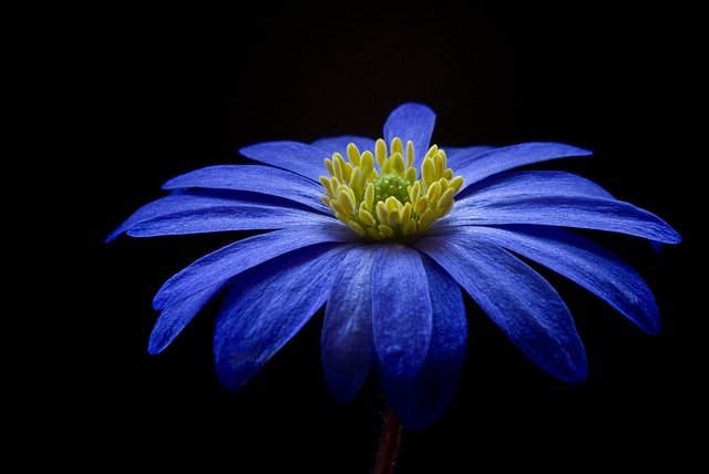 Balkan Anemone, Flower, Blossom, Bloom, Blue, Anemone