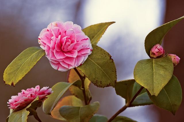 Camellia Japonica, Japanese Camellia, Flower, Blossom