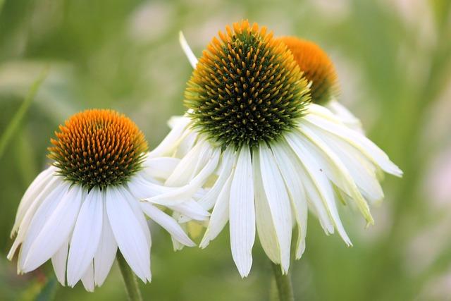 Coneflower, Blossom, Bloom, White, Garden, Flower