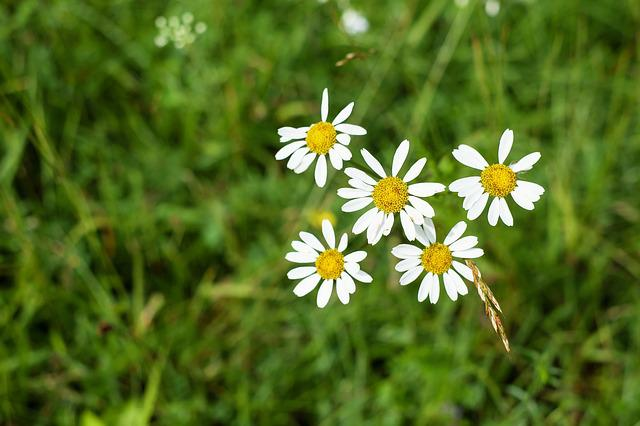 Daisies, Flower, Blossom, Bloom, Flowers, White, Meadow