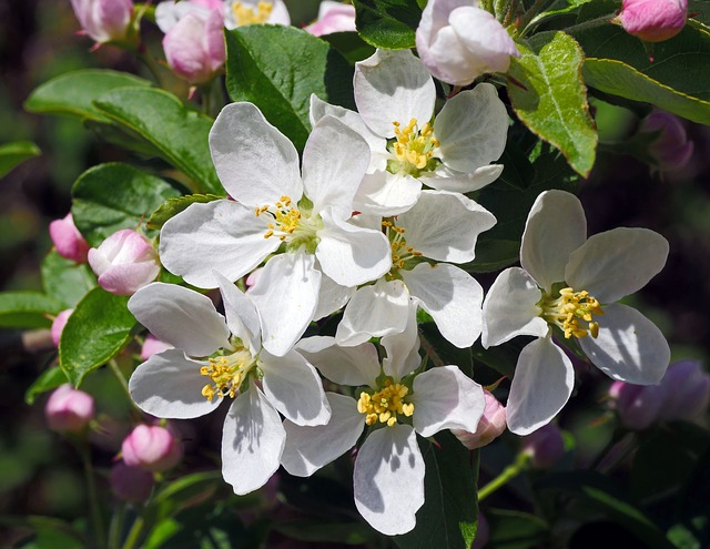 Blossom, Embellishment, Apple Blossom, Flower, Garden