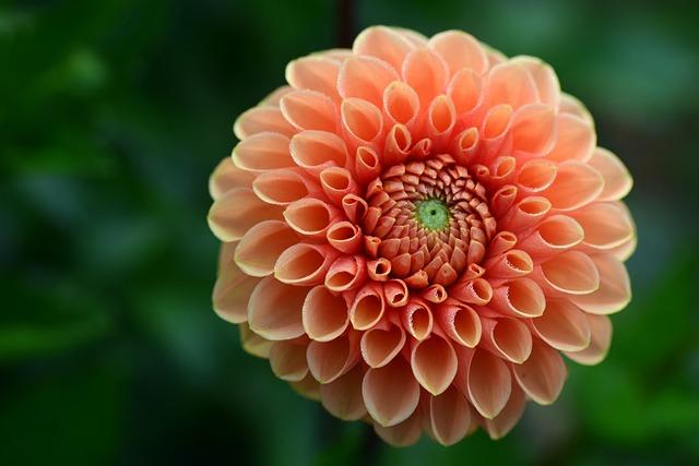 Dahlia, Salmon, Flower Garden, Blossom, Bloom, Flower