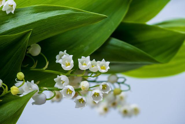 Lily Of The Valley, Flower, Nature, Spring, Blossom