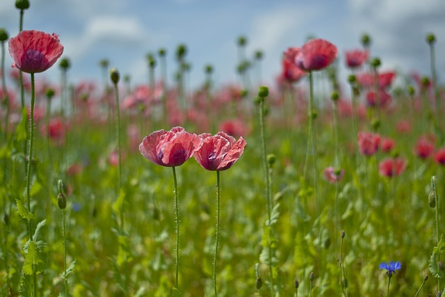Poppy, Field, Mohngewaechs, Nature, Flower, Blossom