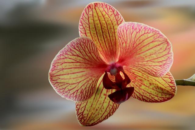 Flower, Blossom, Bloom, Orchid, Filigree