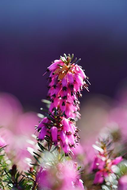 Erika, Flower, Blossom, Bloom, Pink