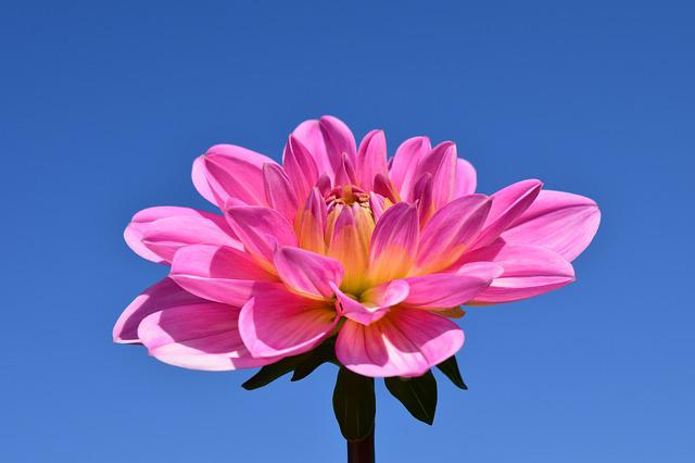 Dahlia, Blossom, Bloom, Flower, Pink, Late Summer