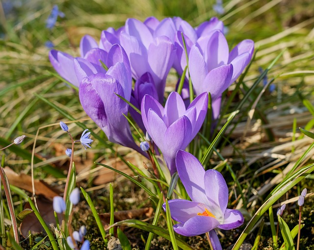 Crocus, Flower, Blossom, Bloom, Purple, Plant