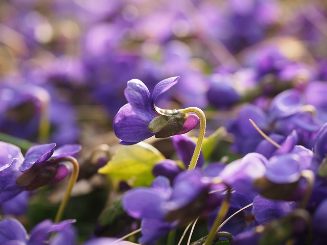 Scented Violets, Violet, Flower, Blossom, Bloom