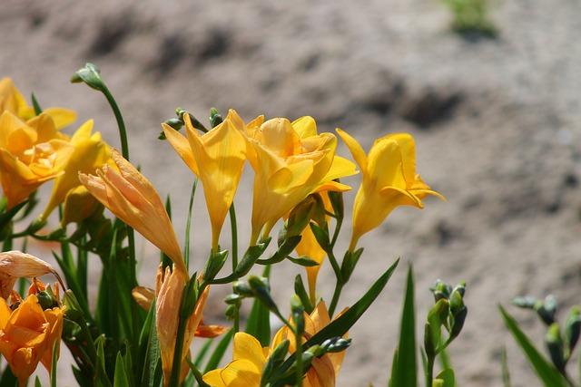 Freesia, Schnittblume, Flower, Blossom, Bloom