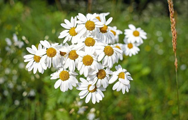 Marguerite, Flower, Blossom, Bloom, Flowers