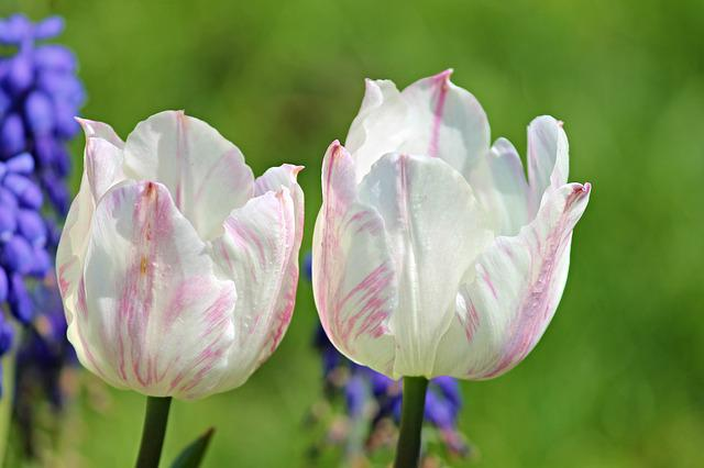 Tulips, White, Pink, Blossom, Bloom, Several, Flowers