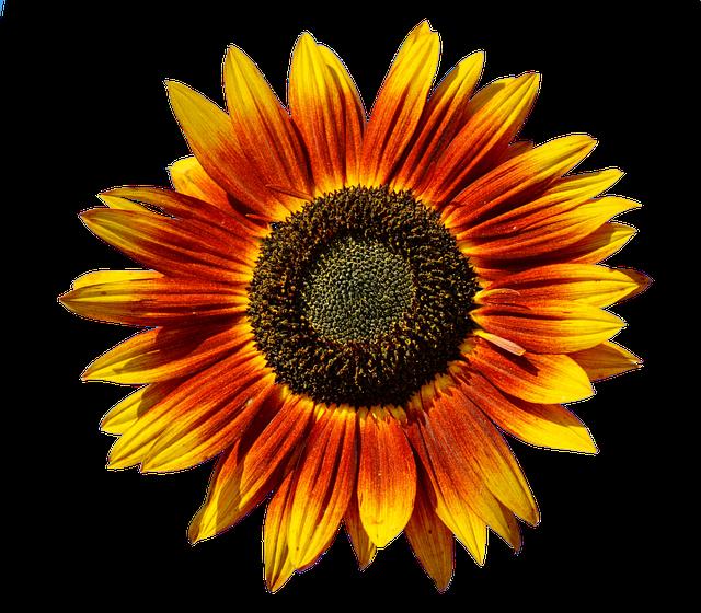 Sun Flower, Flower, Flowers, Blossom, Bloom, Summer