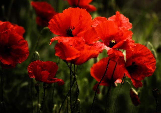 Poppy, Poppies, Klatschmohn, Flowers, Blossom, Bloom