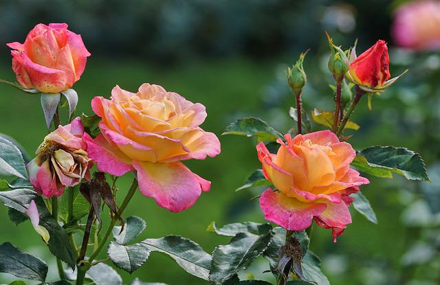 Roses, Pink, Yellow, Blossom, Bloom, Garden Roses