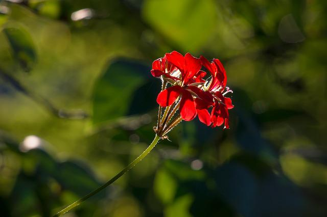 Geranium, Flower, Blossom, Bloom, Ornamental Plant