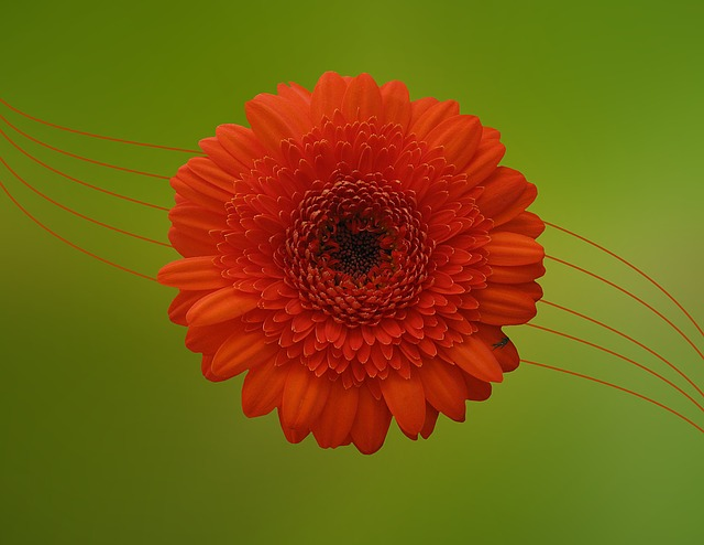 Gerbera, Flower, Blossom, Bloom, Orange, Composites