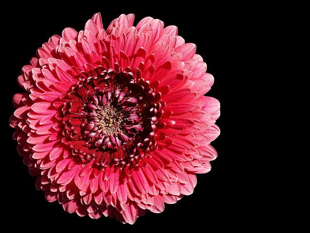 Gerbera, Pink, Blossom, Bloom, Flower, Bright